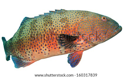 Red Sea Coral Grouper isolated on white background - stock photo