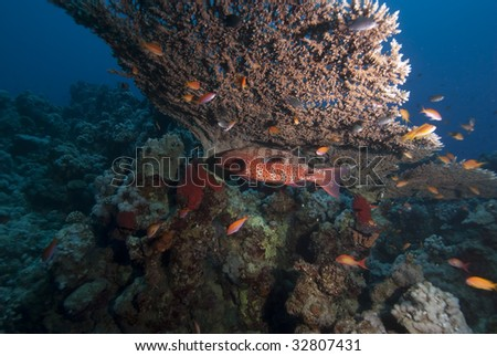 Red Sea coral grouper (Plectropomus pessuliferus) taking shelter underneath a table coral. Red Sea, Egypt. - stock photo