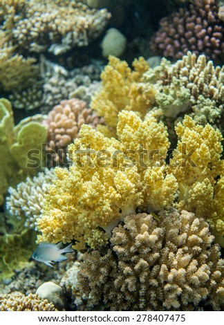 red sea coral reef and yellow broccoli coral - stock photo