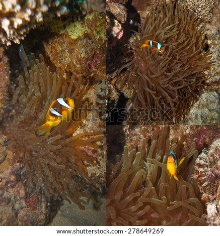 Red sea coral reef - Clownfish hiding in the tentacles of its host anemone. Collage of three photographs - stock photo