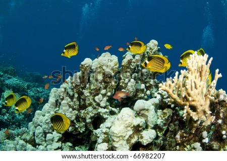 red sea coral scape with yellow butterfly fish - stock photo