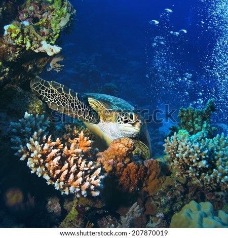Red sea diving big green sea turtle sitting on colorful coral reef underwater postcard  - stock photo