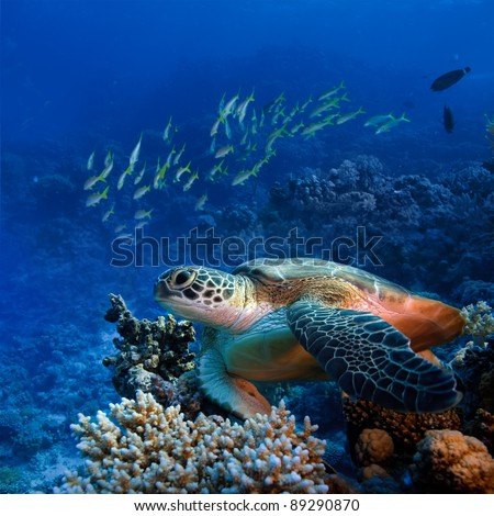 Red sea diving big sea turtle sitting on colorful coral reef