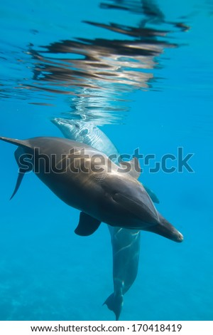 Red sea diving. Two wild dolphins underwater