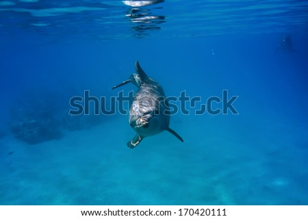 Red sea diving. Wild funny dolphin underwater. - stock photo