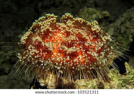 Red Sea fire urchin - stock photo