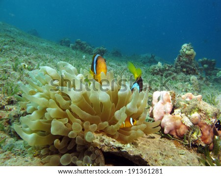 Red Sea juvenile anemonefish