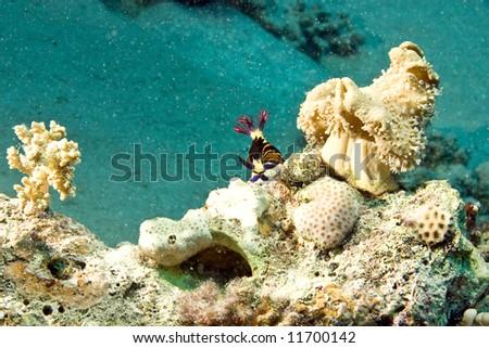 red sea nembrotha (nembrotha megalocera) - stock photo