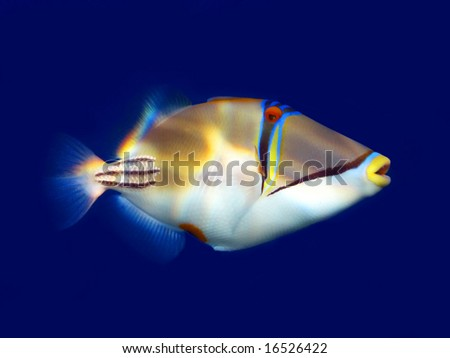 Red sea Picasso triggerfish - stock photo