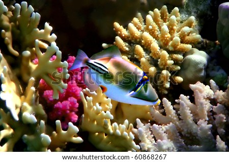 Red sea Picasso triggerfish and corals on a reef top - stock photo