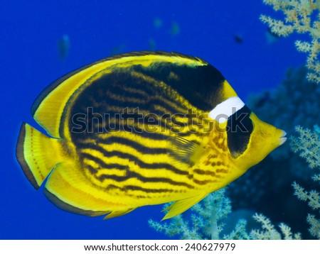 Red Sea raccoon butterflyfish (Chaetodon fascinatus). - stock photo