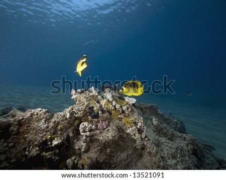 red sea racoon butterflyfish (chaetodn semilarvatus) - stock photo