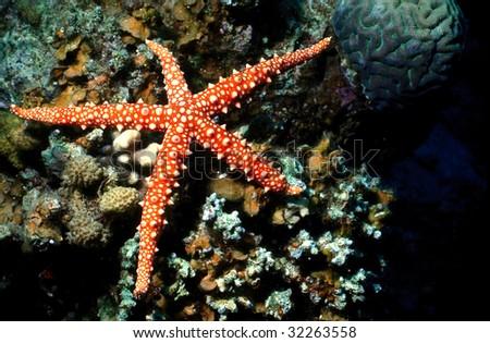 Red sea, Starfish - stock photo