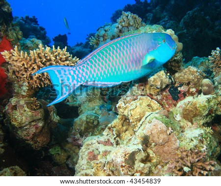 Red Sea Steephead Parrotfish (Chlorurus gibbus)
