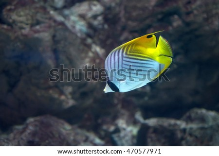 Red Sea threadfin butterflyfish
