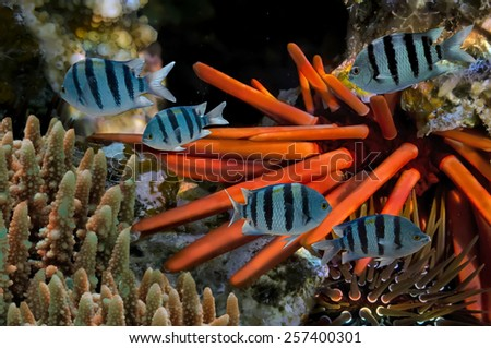 Red Sea Urchin. - stock photo