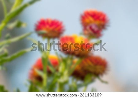 Red seasonal flowers blooming with blue background, blurred, out of focus, artistic, spring, Kolkata, India - stock photo