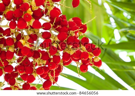 red seed palm - stock photo