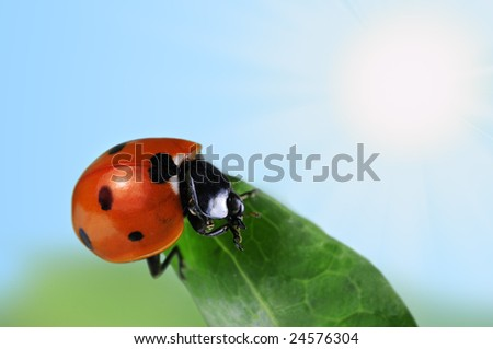 Red seven-spot ladybird  on a green leaf. Blue sky with shining sun in the background.