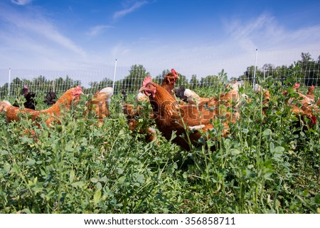 Red sex link pasture raised chickens feeding in a field of alfalfa on a farm in Illinois - stock photo