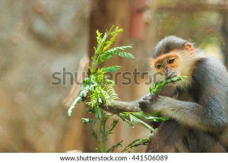 Red-shanked douc,monkey ,in zoo cage,animal, wildlife.