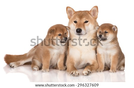 red shiba inu dog with two of her puppies lying down together - stock photo