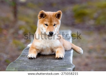 red shiba-inu puppy lying on a bench
