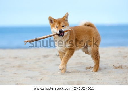 red shiba inu puppy playing with a stick on the beach - stock photo