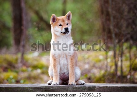 red shiba-inu puppy sitting on a bench - stock photo