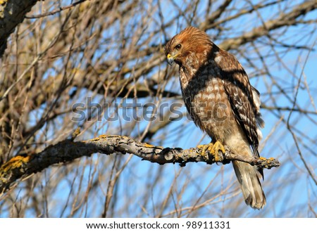 Red-Shouldered Hawk - stock photo