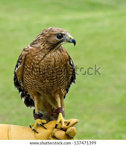 Red-shouldered Hawk (Buteo lineatus) on green background