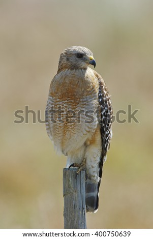 Red-shouldered Hawk (Buteo lineatus) Perched on a Wooden Fence Post - Florida - stock photo