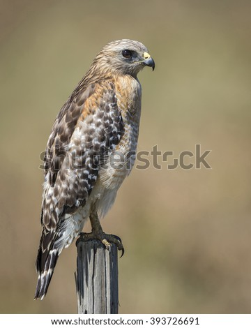 Red-shouldered Hawk (Buteo lineatus) Surveying its Surroundings from a Wooden Fence Post - Florida - stock photo