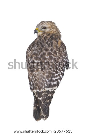 Red shouldered hawk isolated. Clipping path included.