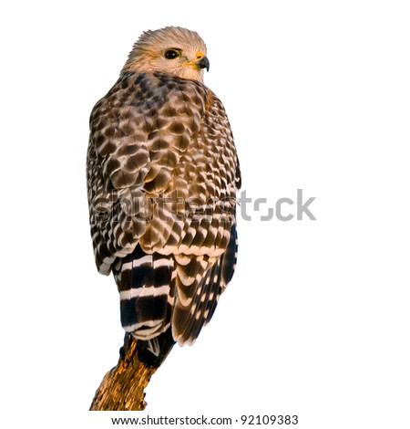 red-shouldered hawk perched, with warm morning light,  isolated on white