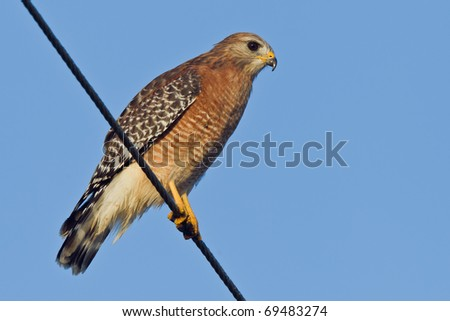 Red-shouldered Hawk sitting on a cable - (Buteo lineatus) - stock photo