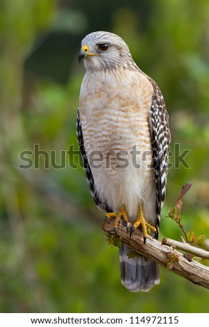 Red-shouldered Hawk sitting on a tree - Buteo lineatus - stock photo