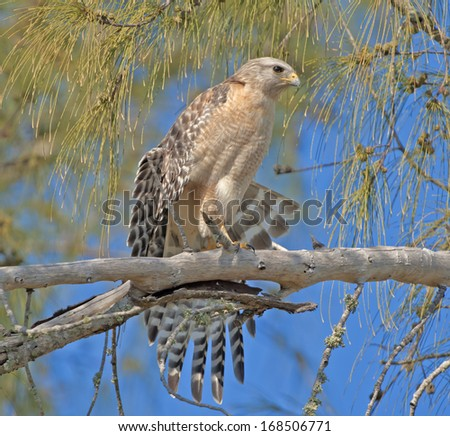 Red-shouldered Hawk stretching his wings. Latin name-Buteo lineatus. - stock photo