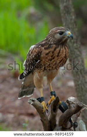 Red-shouldered Hawk tethered sitting on a branch with talons on it's feet.