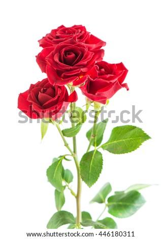 red shrub rose macro isolated on white - stock photo