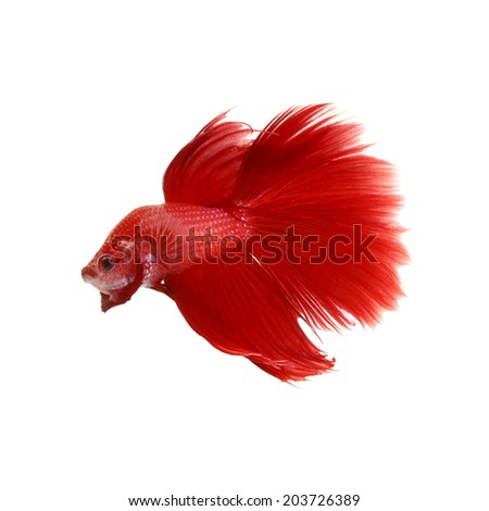 Red siamese fighting fish, betta splendens isolated on a white background