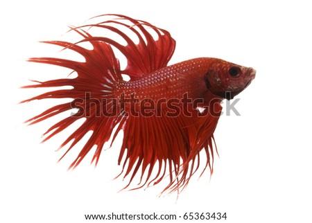 Red Siamese fighting fish (Betta splendens) isolated on white background. - stock photo
