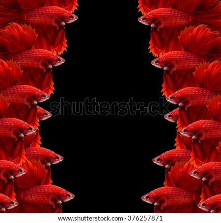 Red siamese fighting fish,Halfmoon betta fish isolated on black background.  - stock photo