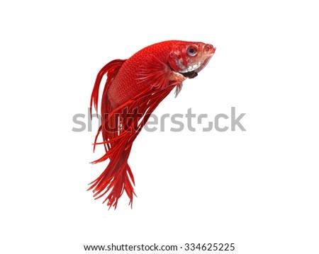 Red siamese fighting fish isolated on white background (Betta splendens) - stock photo