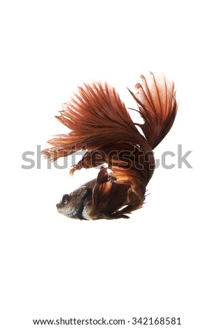 Red Siamese fighting fish on white background