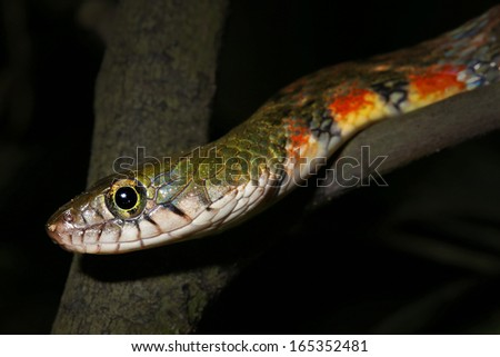 Red-sided or Triangle Keelback Snake (Xenochrophis trianguligera) in the rain forests of Borneo (Danum Valley, Sabah). This attractive snake inhabits moist, lowland primary rainforest. - stock photo