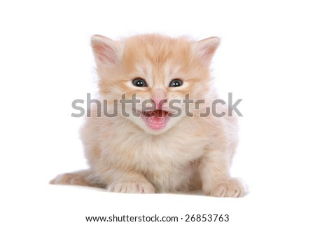 Red silver Angora kitten meowing on white background