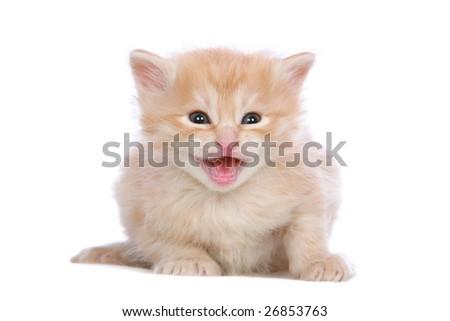 Red silver Angora kitten meowing on white background - stock photo