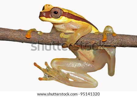 Red-skirted Treefrog (Dendropsophus rhodopeplus) Cutout and Isolated on white in the Peruvian Amazon Lots of space for text - stock photo