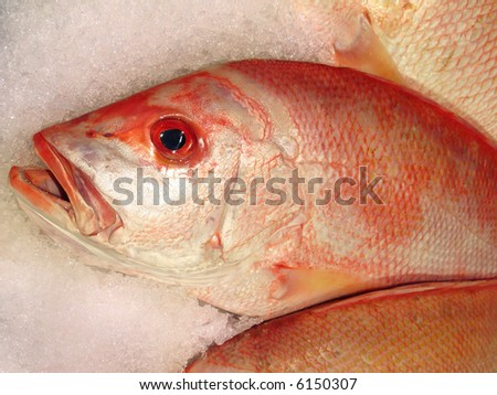 red snapper on top of ice close up - stock photo